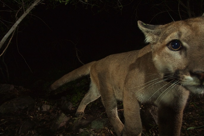 Researchers have been tracking P-32, pictured above, since he was four weeks old. He was outfitted with a GPS tracking collar in December 2014.