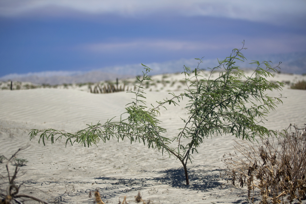 A young mesquite plant grows in the desert of the Coachella Valley.