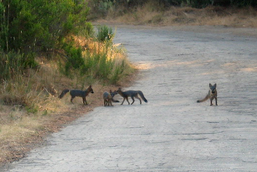 A group of foxes on a road in Catalina Island.
