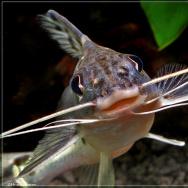 A friendly pictus catfish says hello