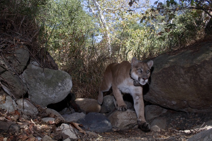 P22 walks by one of Miguel Ordeñana's wildlife cameras in the daylight.