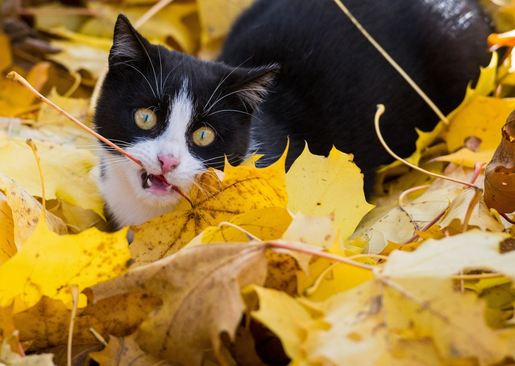 A cat plays with autumn leaves on November 1, 2015 in Sieversdorf, Germany.