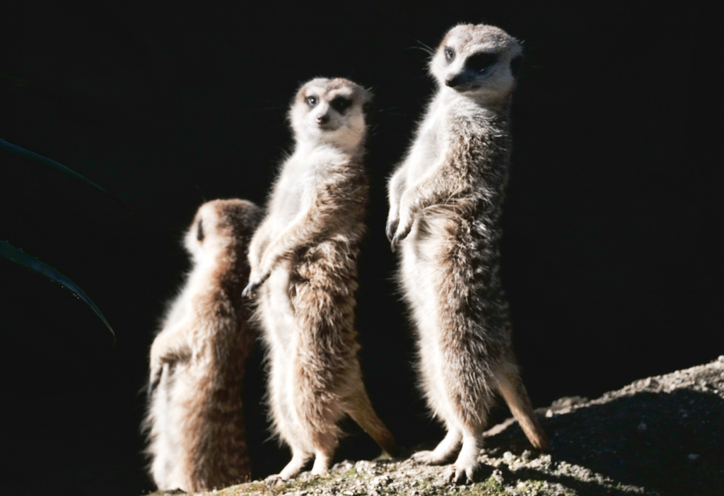 Los Angeles Zoo's new meerkats warm themselves in the morning sun in their enclosure known as meerkat manor in on Thursday, March 15, 2018. The Los Angeles Zoo's new breeding group of meerkats is now on exhibit. The