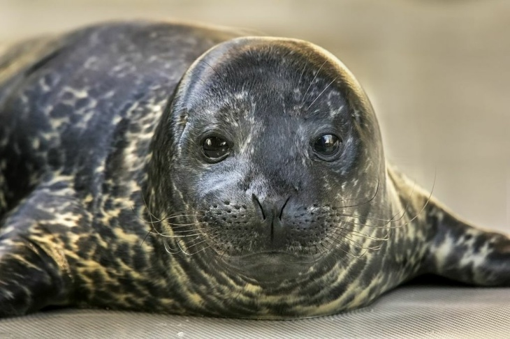 male harbor seal