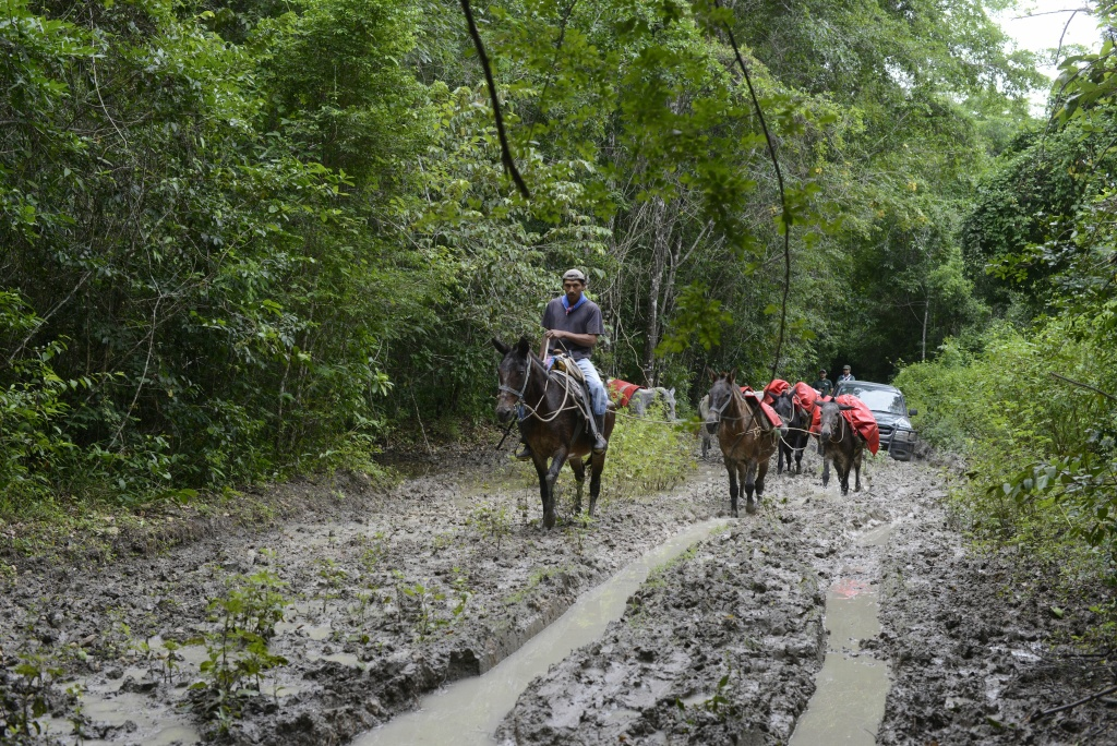 A man and his mules go along a muddy road in the Mayan Biosphere forest in the Carmelita municipality, Peten department, some 580 km north of Guatemala City, on the border with Mexico and Belize, on November 27, 2014