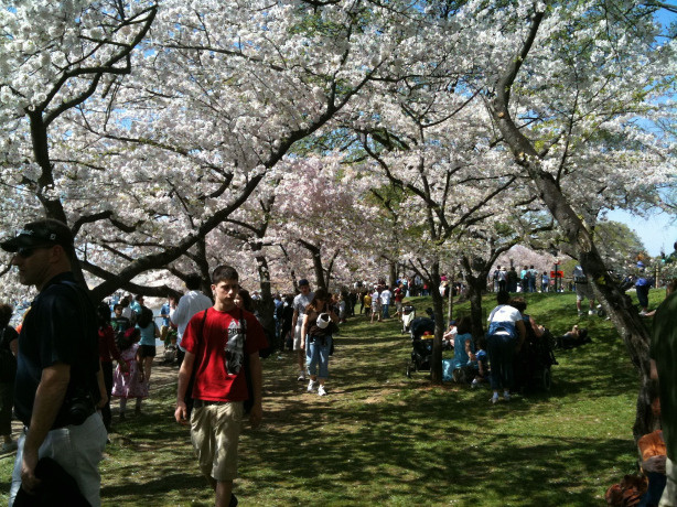 National Mall and Memorial Parks Cherry Blossom Festival.