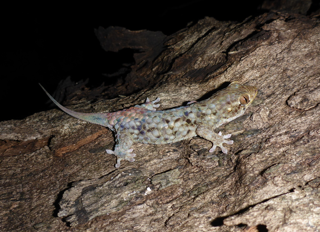 <em>Geckolepis megalepis</em> can shed its skin and scales — the largest of any gecko — in order to flee a predator.