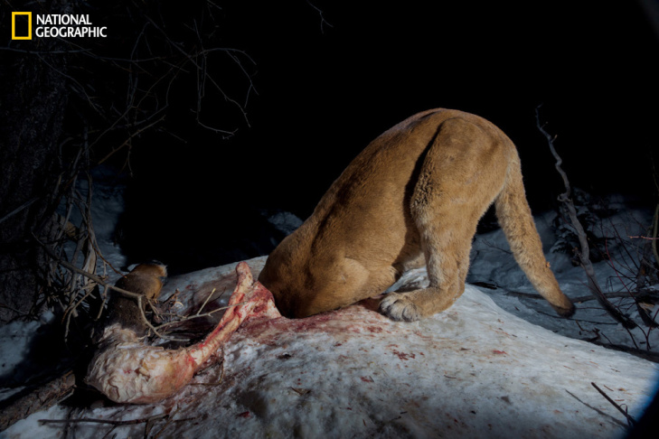 A hidden camera records Hollywood's most reclusive star—this male cougar first seen in Griffith Park in Los Angeles almost two years ago. A radio collar tracks his moves, but residents see scant sign of him.