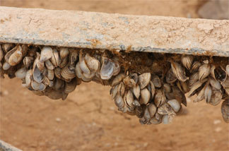 File photo: Quagga Mussels on a marina support structure/