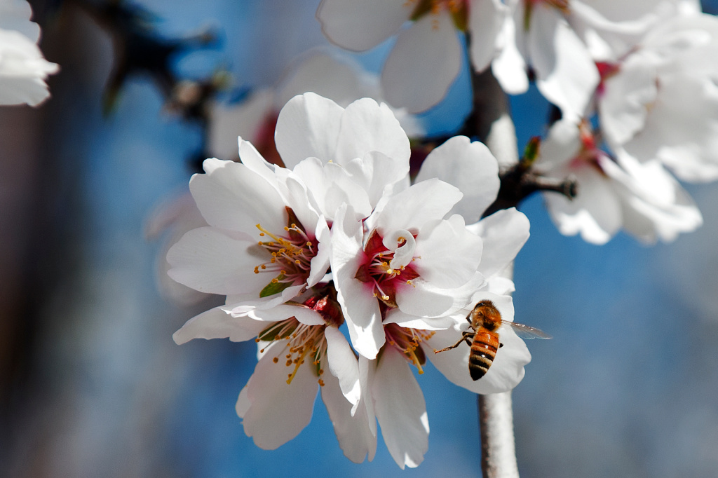 The European Union Monday moved to ban three pesticides to protect dwindling bee populations. Photo: A honeybee pollinates a female almond flower with pollen from an adjacent male tree. It takes 92,000 bee colonies to pollinate Paramount Farms' 46,000 acres of almond trees.