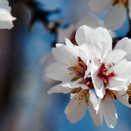 Almond Farm Bees - 2