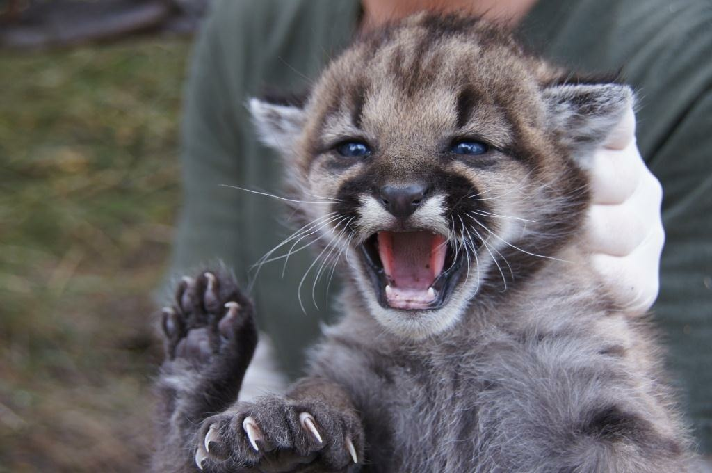 Biologists from the National Park Service hold Puma-23, one of two mountain lion kittens found recently in the Santa Monica Mountains.