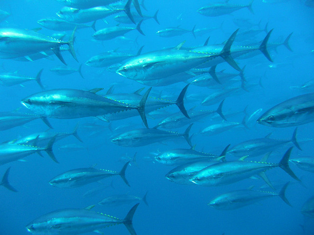 A school of Bluefin Tuna.