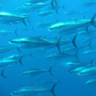 A school of Bluefin Tuna.