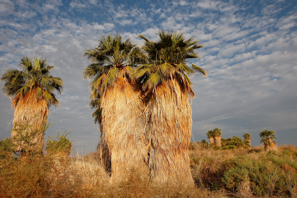 Palm trees grow in a California desert.