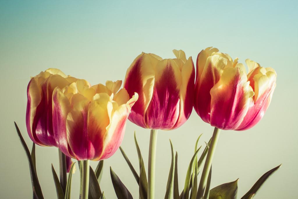 Feliz Día de la Madre Happy Mother's Day flowers tulips