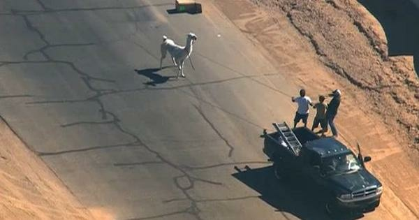 Television footage showed a large, white llama and a smaller, black llama darting through the streets of Sun City during the lunch hour.