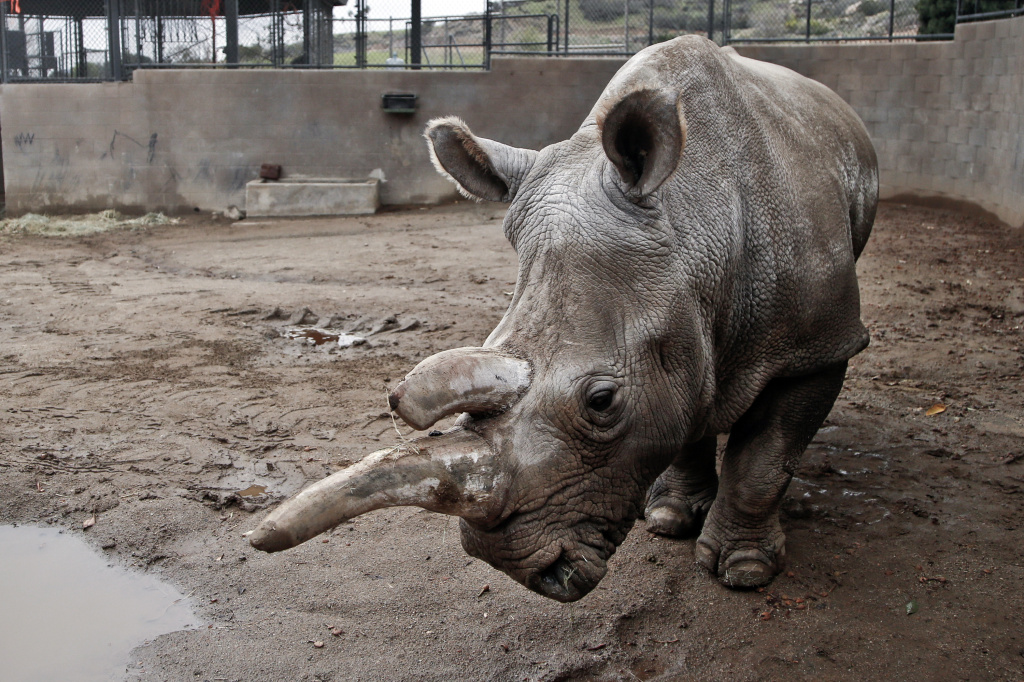 FILE - This Dec. 31, 2014 file photo shows Nola, a northern white rhinoceros, in her enclosure at the San Diego Zoo Safari Park in Escondido, Calif. The Los Angeles Times reports that Zoo officials say Nola, 41, was euthanized early Sunday, Nov. 22, 2015 as she was suffering from a number of old-age ailments, including arthritis, and had also been treated for a recurring abscess on her hip. The rhino had been a draw at the Safari Park since 1986.(AP Photo/Lenny Ignelzi, File)