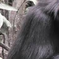 A Budongo chimp enjoying a snack.