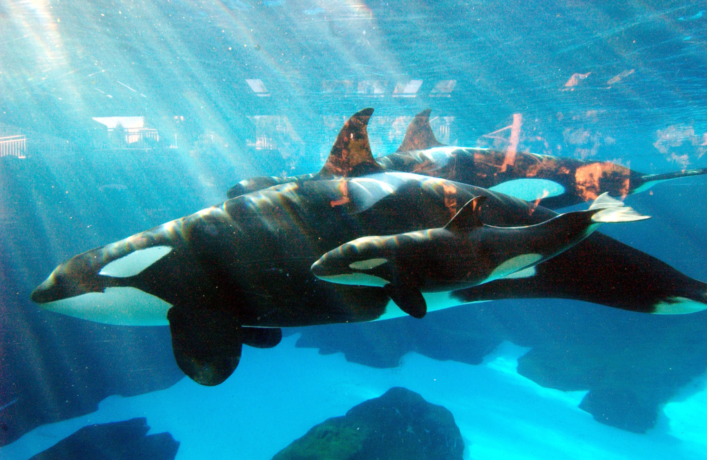 SeaWorld San Diego has announced that it'll end its signature killer whales show by 2017.
