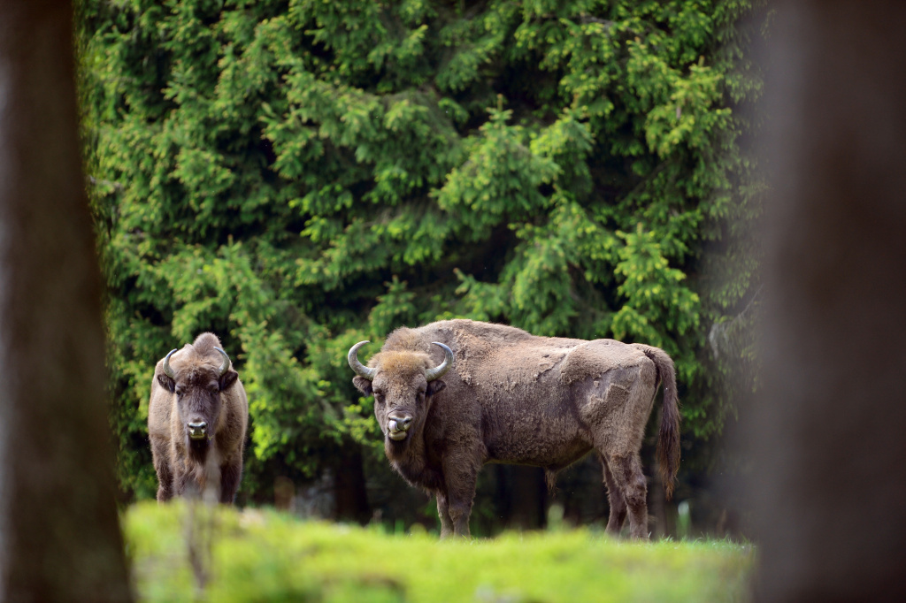 A herd of European bison roams through a forest in the Rothaargebirge mountain range on May 5, 2014 near Bad Berleburg, Germany.