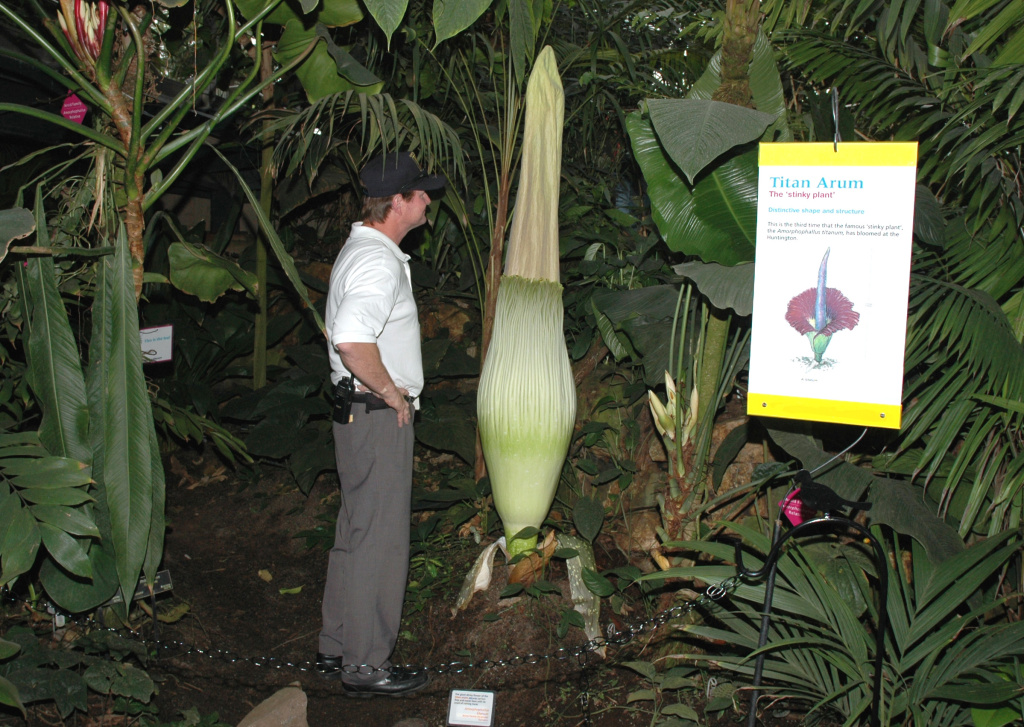 A 6-foot-tall security guard standing next to the 6 foot 7 inch corpse flower.