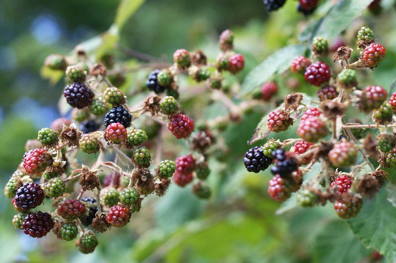 The strange, twisted story behind Seattle's blackberries