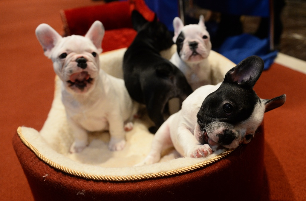 French Bulldog puppies pose as the 2013 most popular dog breeds in the US are unveiled to the press at the American Kennel Club.