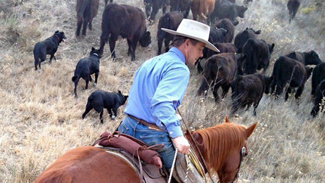 Joe Morris, owner of Morris Grassfed in San Juan Bautista, herds cattle up a hill in Hollister. He transported the cows from a ranch where there wasn't enough water to sustain them.