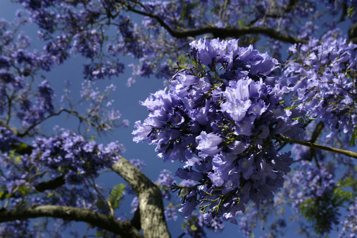 Southern California's Jacaranda Trees in Bloom