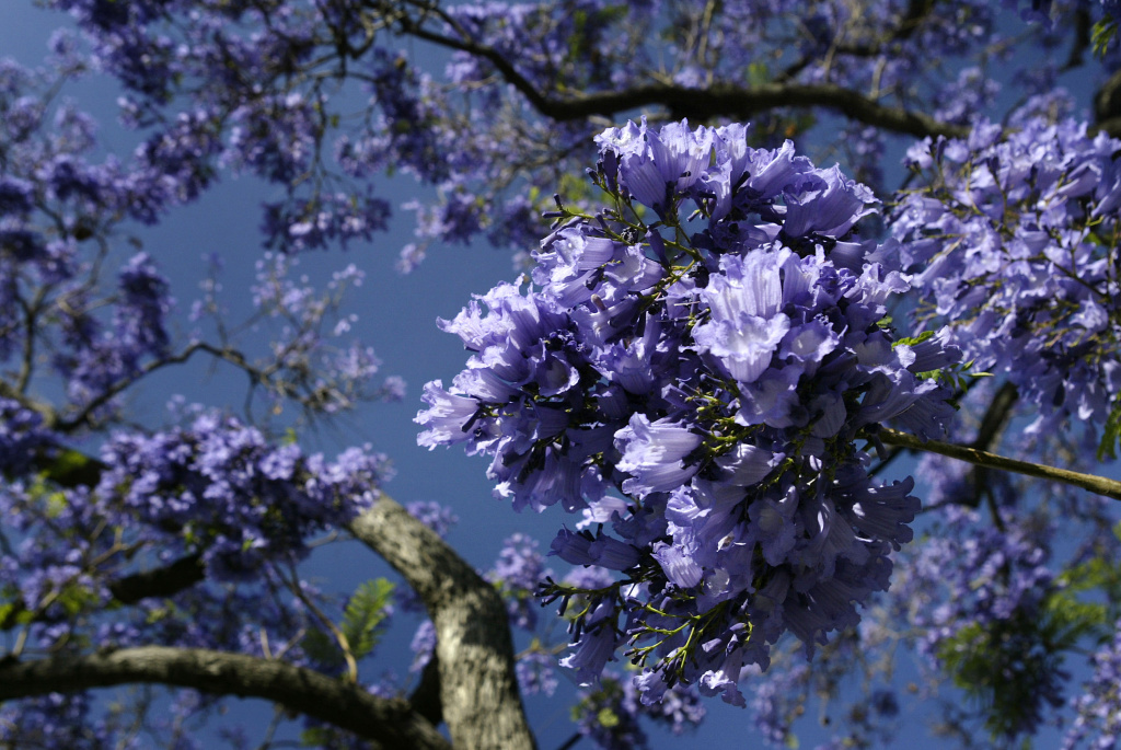 Purple blossoms appear as southern California's Jacaranda trees go into full bloom on May 19, 2004 in South Pasadena, California. The subtropical Jacarandas are common throughout much of southern California, growing as tall as 30- to 90-feet.