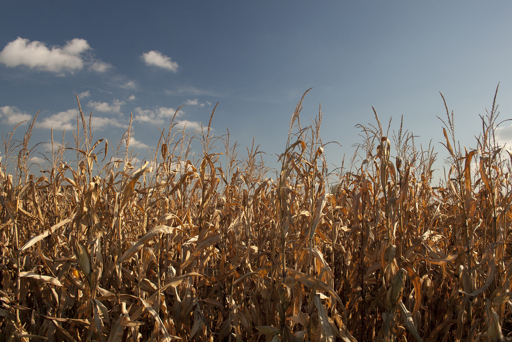 The U.S. produces nearly half of the world's corn.