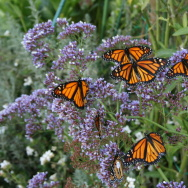 File: Western monarch butterfly in Huntington Beach