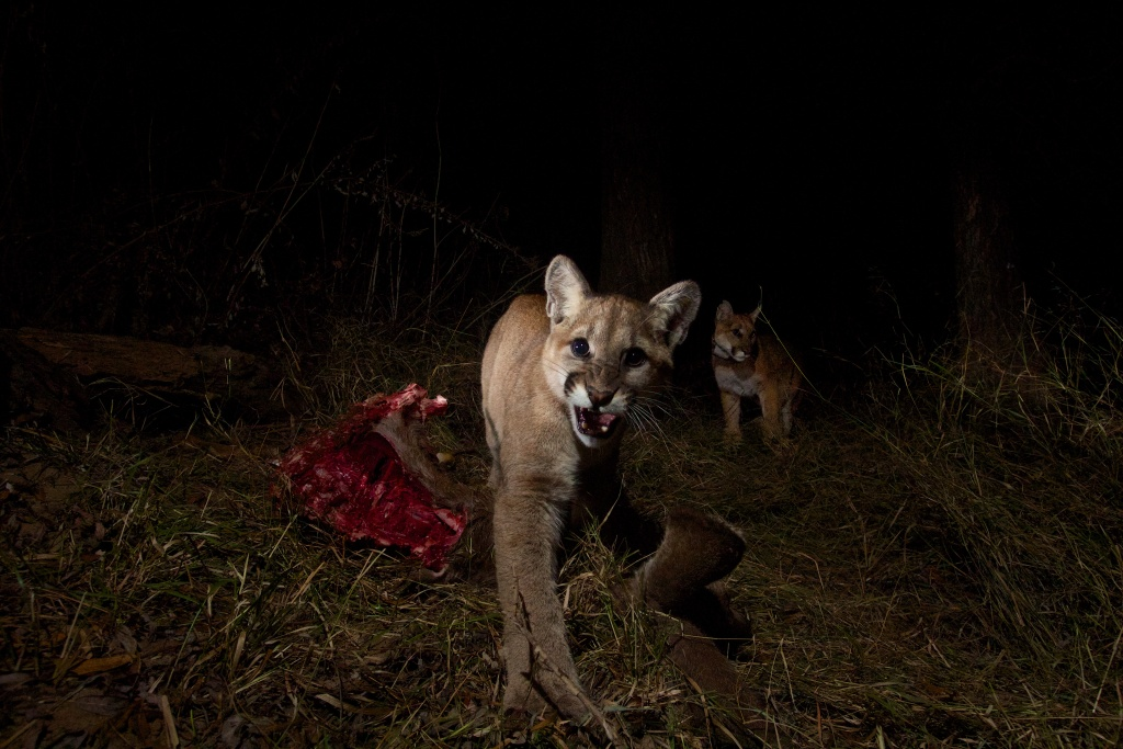 A remotely triggered camera captured this image of P-13 and her cubs on a kill. They are among more than 30 mountain lions the National Park Service has studied in and around the Santa Monica Mountains since 2002. Courtesy of National Park Service.