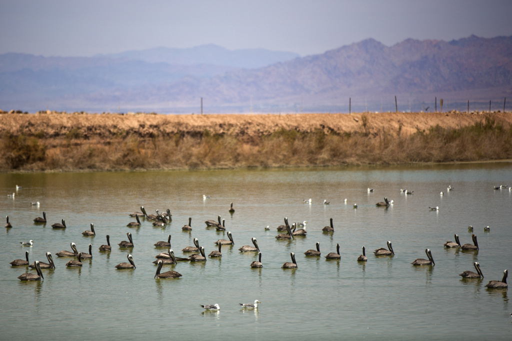 California brown pelicans breed on the Channel Islands  then travel to the Salton Sea in the summertime after breeding.