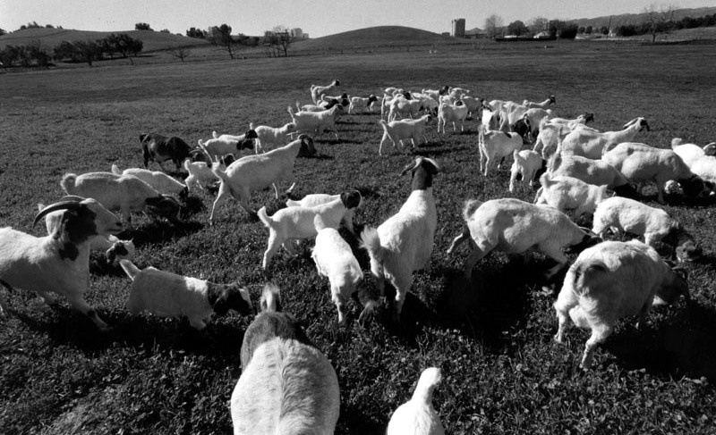 Goats graze on the 426-acre campus of Los Angeles Pierce College, a two-year community college and part of the Los Angeles Community College District