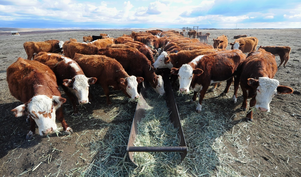 Cattle feed at a ranch in Delano, California.
