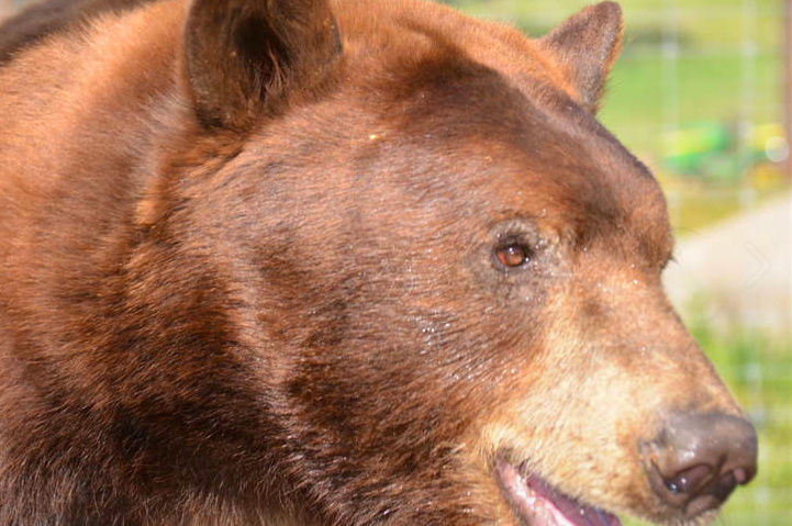 The bear that scurried through Pasadena Thursday is not the first to have been seen in the area. Meatball the bear (above) grew his own fan base (and Twitter account) after venturing into Glendale several times.