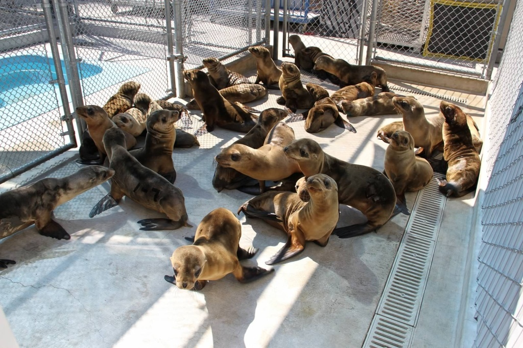 Sea lions in rehab