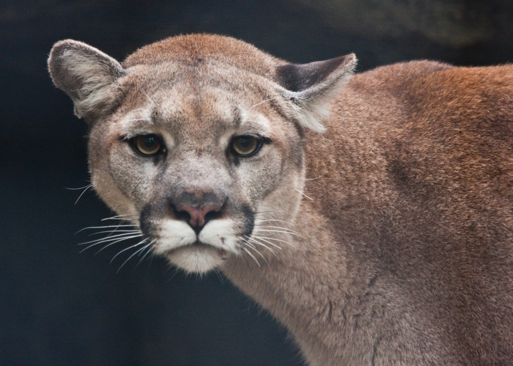 This Creative Commons licensed photo shows a mountain lion in captivity. On Saturday, Rancho Cucamonga police deputies shot and killed a mountain lion in the backyard of a local residence.