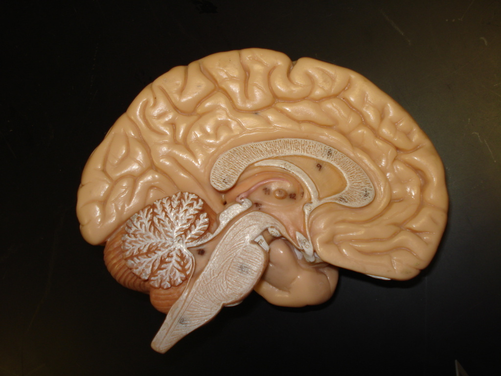 A model showing the inside of the brain, corpus callosum, bran stem, and cerebellum.