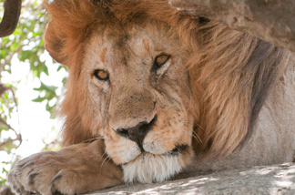 File: Resting lion on the Serengeti, Tanzania