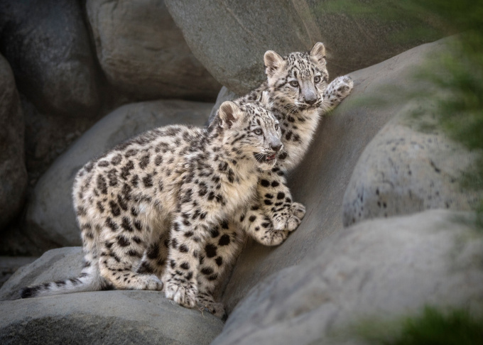 Two endangered snow leopard cubs made their debut at the Los Angeles Zoo on Sept. 12, 2017. The pair were born in May but have been raised behind the scenes in order to gain strength and bond with their mother.