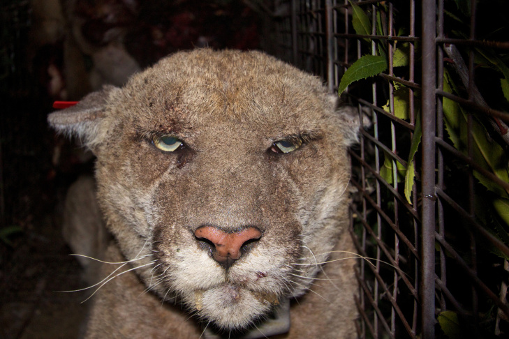A video of mountain lion P-22 taken on May 28th shows treatment he received for mange in March appears to have helped.