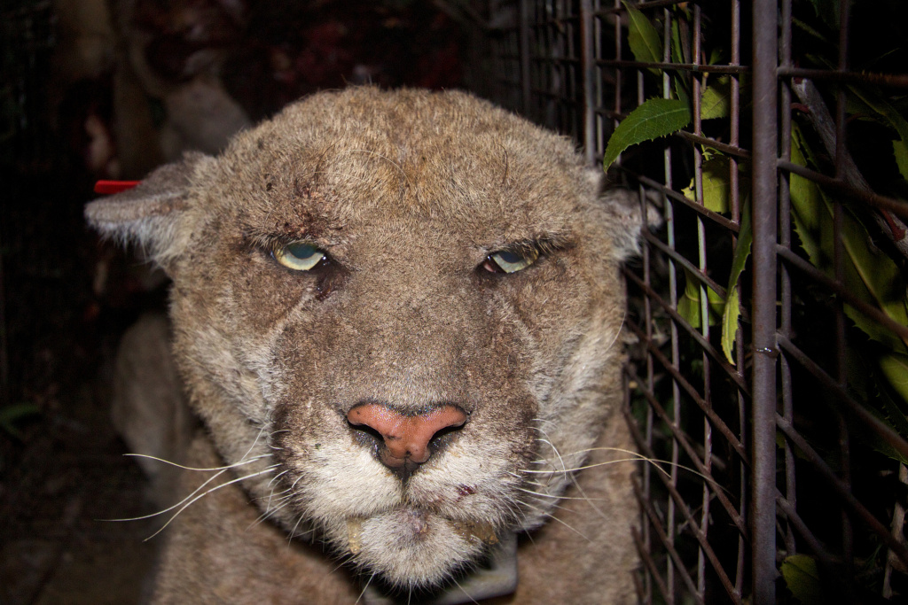 Mountain lion P-22 was trapped, sedated and treated for mange during a capture in Griffith Park.