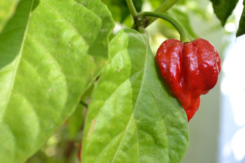 The Trinidad Moruga Scorpion is one of the hottest peppers in the world.