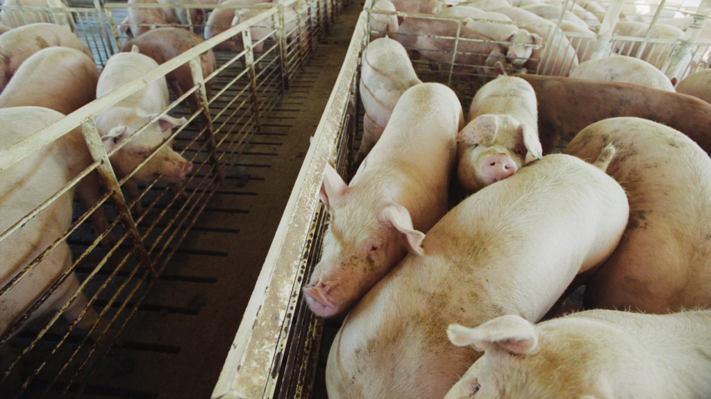 So far, fewer pigs than feared have had to be euthanized due to the coronavirus shutting down pork plants.