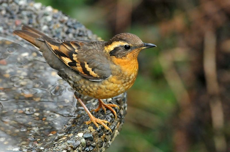 A female Varied Thrush in Washington, USA. Similar birds are showing up as far south as Los Angeles.