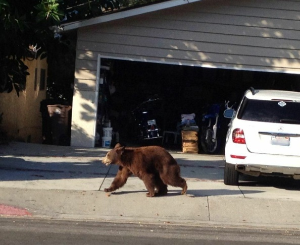 The bear that stopped 210 traffic ambled along residential streets in La Crescenta before being tranquilized and transported back to the forest.