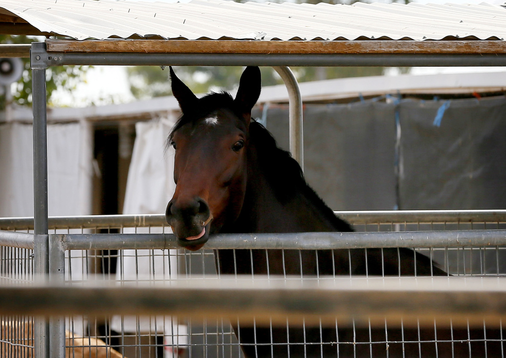 File: A horse is quarantined at Turf Paradise horse track, Friday, Jan. 29, 2016, in Phoenix in the wake of a herpes outbreak that surfaced in New Mexico.